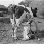Cow getting milked